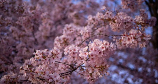 Pretty in pink: Washington, D.C., in the spring is a beautiful place to ponder the fleeting nature of life