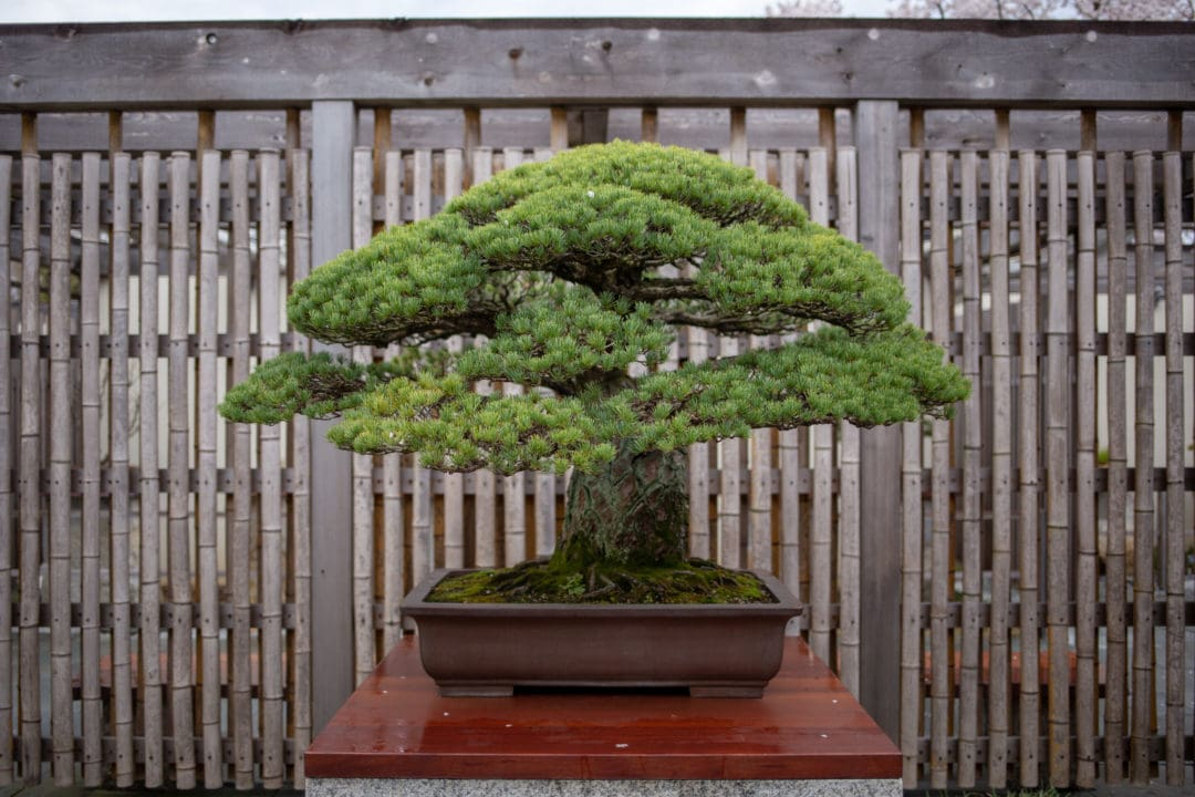 A Japanese white pine, in training since 1625, survived the atomic bomb blast in Hiroshima.