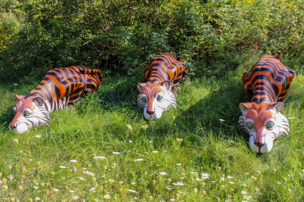 tigers in the grass