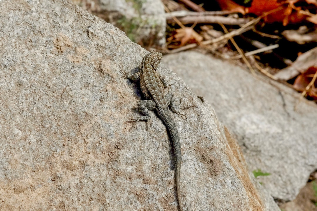 Several lizard species can be spotted throughout the canyon.