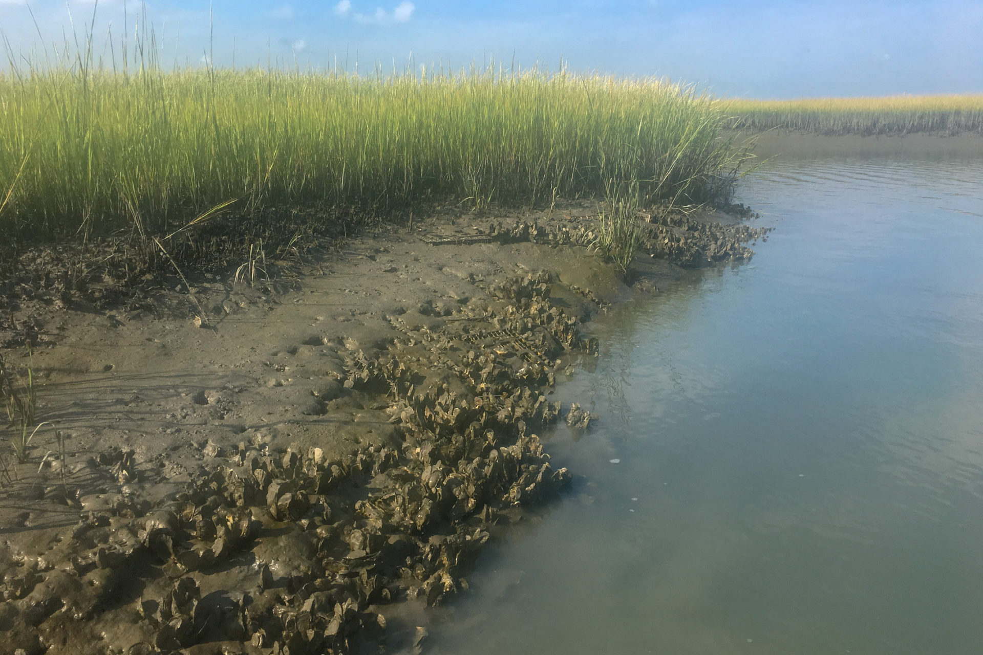 Wild oysters thrive in the muddy marshes on the Eastern Shore of Virginia.