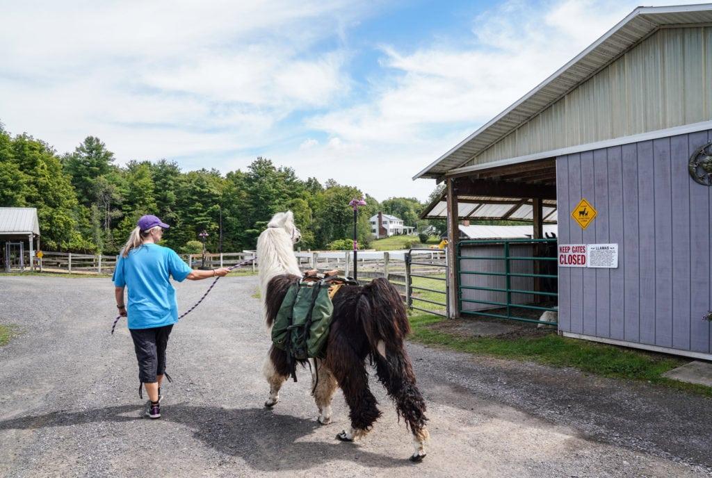 Leading a llama. |