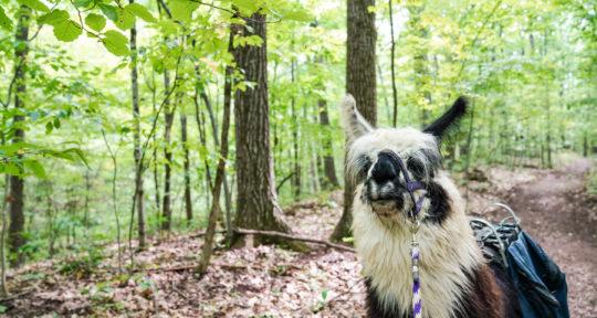 More llamas, less drama: A walk in the woods with the regal residents of Dakota Ridge Farm